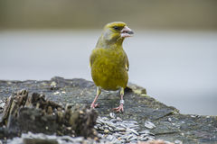 Ringed Greenfinch (Carduelis chloris). Greenfinch (Carduelis chloris) is a bird in the finch family Fringillidae. The length is approx. 14.5 cm and weighs stock photography