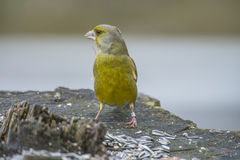 Ringed Greenfinch (Carduelis chloris) Stock Image