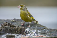 Ringed Greenfinch (Carduelis chloris) Royalty Free Stock Photos