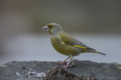 Ringed Greenfinch (Carduelis chloris) Royalty Free Stock Image