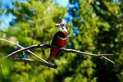 Ringed Kingfisher, cientific name Megaceryle torquata stock photography