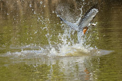Ringed Kingfisher Emerging from River with Splash Stock Images