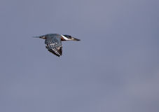Ringed Kingfisher in flight Royalty Free Stock Image