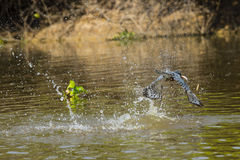 Ringed Kingfisher Flying with Fish over River with Splash Royalty Free Stock Images
