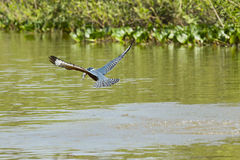 Ringed Kingfisher Flying with Fish over River Royalty Free Stock Images