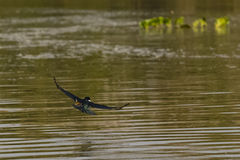 Ringed Kingfisher Flying over Rippled Water Stock Photo