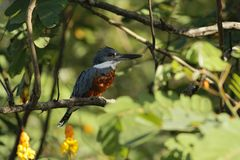 Ringed Kingfisher,Megaceryle torquata sitting on branch in its natural enviroment next to river,green vegetation and yellow flower. Ringed Kingfisher royalty free stock image