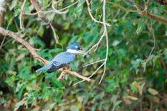 Ringed kingfisher on the nature in Pantanal, Brazil. Brazilian wildlife royalty free stock image