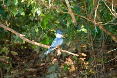 Ringed kingfisher on the nature in Pantanal, Brazil. Brazilian wildlife royalty free stock photography