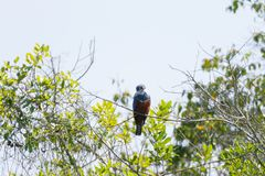 Ringed kingfisher on the nature in Pantanal, Brazil. Brazilian wildlife royalty free stock photo