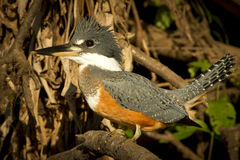 A ringed kingfisher in the Pantanal, Brazil Royalty Free Stock Photos