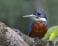 Ringed KIngfisher Perched in a Tree - Panama Royalty Free Stock Photo