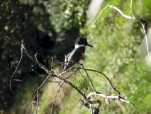 Ringed Kingfisher standing on a tree royalty free stock photo