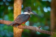 Ringed kungsfiskare - den Megaceryle torquataen - stor kungsfiskarefågel Funnit längs den Rio Grande dalen i Texas till och med c arkivfoton