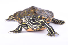 Ringed map turtle, Graptemys oculifera. The Ringed map turtle, Graptemys oculifera, is a colorful turtle species found in Louisiana USA Stock Photo