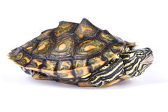 Ringed map turtle, Graptemys oculifera. The Ringed map turtle, Graptemys oculifera, is a colorful turtle species found in Louisiana USA Stock Photography