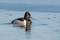 Ringed-neck Duck Stock Photo