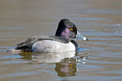 Ringed-neck Duck Royalty Free Stock Images