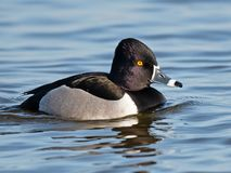 A Ringed-neck Duck floating in the water royalty free stock image