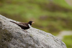 Ringed Ouzel Royalty Free Stock Images