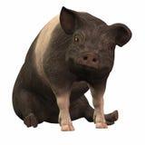 Ringed Piggie - 01 Stock Photo