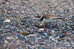 Ringed plover Stock Photos