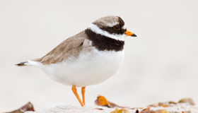 A ringed plover. Walking on the beach Royalty Free Stock Photo