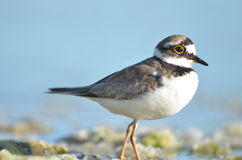 Ringed Plover in denmark Royalty Free Stock Photography