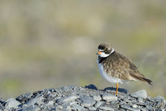 Ringed Plover Stock Photo