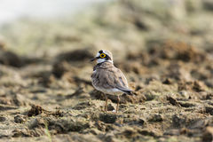 Ringed Plover. A Common Ringed Plover is posing on the river side Stock Image