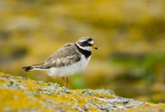 Ringed Plover. Standing on rock Stock Photos