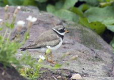 Ringed Plover. Standing on rocks royalty free stock images