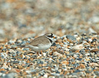 Ringed PLover Stock Photography