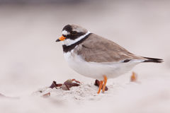Ringed plover on a beach Royalty Free Stock Images