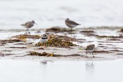 Ringed plover at a beach Royalty Free Stock Image
