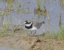 Ringed Plover (charadrius hiaticula) Royalty Free Stock Images