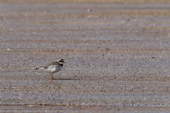 Ringed Plover (Charadrius hiaticula) on Beach. This image shows a ringed plover standing on the sand of Red Point beach in the North West of Scotland. This Stock Image