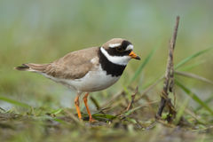 Ringed Plover. Charadrius hiaticula. Stock Photo