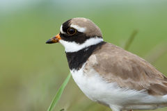 Ringed Plover. Charadrius hiaticula. Stock Photos