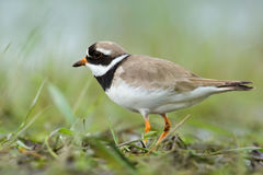 Ringed Plover. Charadrius hiaticula. Royalty Free Stock Photo
