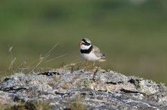 Ringed Plover Royalty Free Stock Photography
