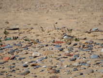 Ringed Plover Charadrius hiaticula Stock Photography