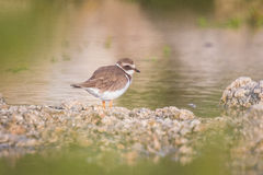 Ringed Plover Royalty Free Stock Images