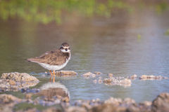 Ringed Plover Stock Images
