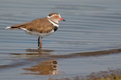 Ringed Plover (Charadrius hiaticula) in Kruger National Park royalty free stock photo