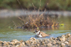 Ringed Plover Stock Image