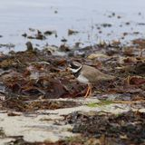 Ringed Plover (Charadrius hiaticula) on Sea-Shore. This image shows a ringed plover standing on the sea-shore at Red Point beach in the North West of Scotland Royalty Free Stock Image