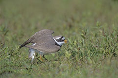 Ringed plover, Charadrius hiaticula Royalty Free Stock Image