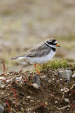 Ringed plover, Charadrius hiaticula Stock Photography