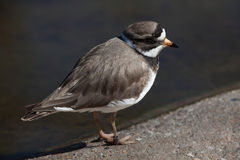 Ringed plover (Charadrius hiaticula). Royalty Free Stock Photo